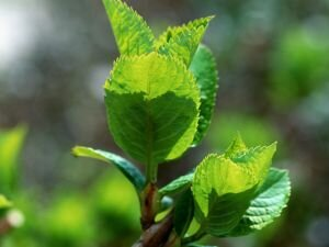 葉芽のイメージ