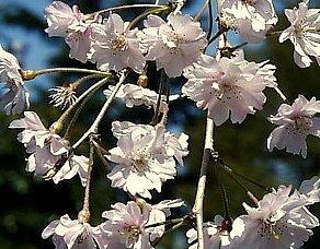 シダレザクラの花柄